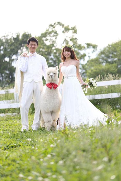 Бизнес-идея №5871. Аренда альпаки на свадьбу