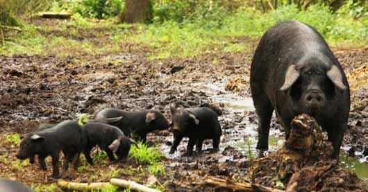 Компания Buitengewone Varkens предлагает инвесторам вкладывать деньги в ее свиноферму, в обмен обещает обеспечивать их продуктами из свинины в течение последующих трех лет.