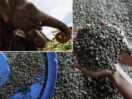 Производство элитного кофе в слоновьих масштабах